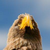Гордая птица :: luchnik