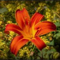 Прекрасная лилия :: Николай Гирш
