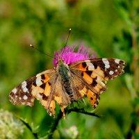 и опять про бабочек...48 :: Александр Прокудин