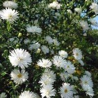Нежные хризантемы :: Yulia Raspopova