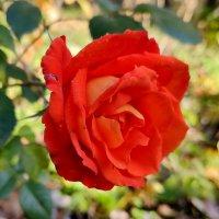 Последняя осенняя роза. :: Пётр Сесекин