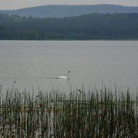 Белый лебедь... :: Дмитрий Петренко