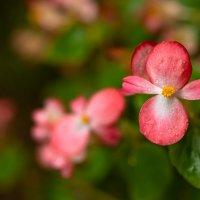 Бегония вечноцветущая в октябре за окном :: Роман Алексеев