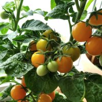 Урожай на подоконнике :: Galina194701