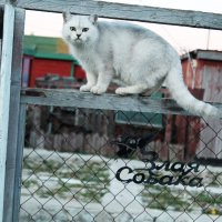 соседский кот :: Олег