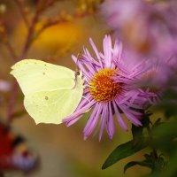 опять про осенних бабочек...1 :: Александр Прокудин