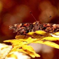 бабочки 27 октября...1 :: Александр Прокудин
