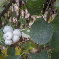 Снежноплодник :: marmorozov Морозова