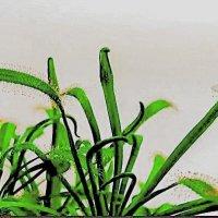 Хищное растение-Росянка :: Александр Володарский