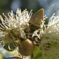 Цветок эвкалипта :: Ефим Журбин