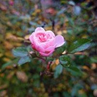 НоябрьскАЯ нежность...... :: Galina Dzubina
