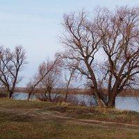 Ивы на берегу Иртыша. :: сергей