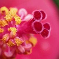 Середина цветка каркаде :: Ефим Журбин