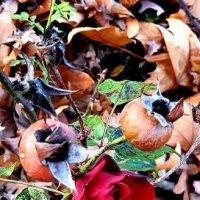 ноябрьская роза :: Mirta
