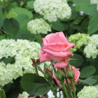 Роза  в гортензиях. :: IREN jonina