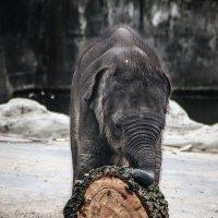 Слонёнок и бревно :: Alexander Andronik
