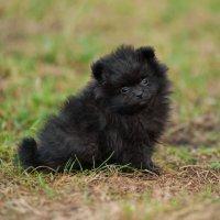 Уголек - щенок породы шпиц :: Ольга Семина