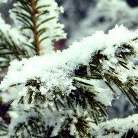 Елочки-иголочки в снежной шубке :: Наталья Пендюк Пендюк