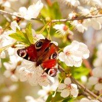 опять бабочки...9 :: Александр Прокудин