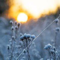 Зимняя пижма на закате :: Ольга Семина