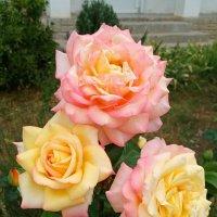 Розы Gloria Dei :: Эля Юрасова