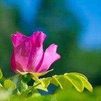 Городская роза :: Михаил Соколов