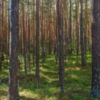 Лес за Тургояком :: Алексей Трухин