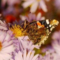 октябрьские бабочки  8 :: Александр Прокудин