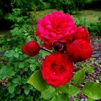 Летние розы :: Антонина Гугаева