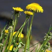Тянут прямо к солнышку жёлтые панамки  ... :: Tatiana Markova