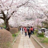 Сакура в Киото Япония :: Alm Lana