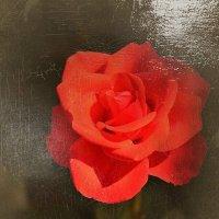 Прекрасная роза... Картина маслом...) :: Тамара Бедай