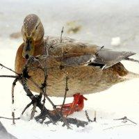 Утки зимующие на Большом пруду - 1 :: Сергей