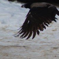 Ворона с добычей :: Дмитрий