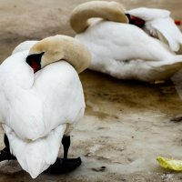 Отдых лебедей :: Дмитрий