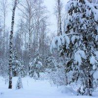 Тих и необычен лес в своем торжественном снежном облачении :: Григорий охотник