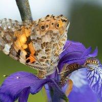 Бабочка :: Оксана Лада