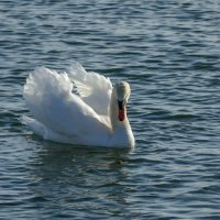 А вот и лебедь подплывает ко мне! :: Юрий Поляков