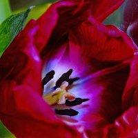 Красный тюльпан. :: Штрек Надежда