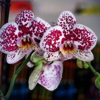 Моя орхидея цветет… :: Ирина Беркут