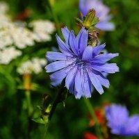 Голубоглазое лето... :: Tatiana Markova