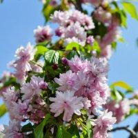 С праздником  цветения сакуры :: Андрей Верин
