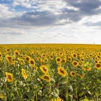 Бескрайнее поле :: Дина Горбачева