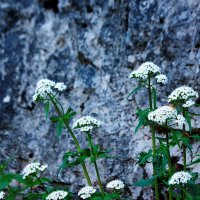 Цветы и скалы :: Вальтер Дюк