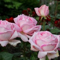 Роза Amazing Grace (Myriam) :: tamara kremleva