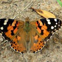 А бабочка крылышками .... :: Ирина Олехнович