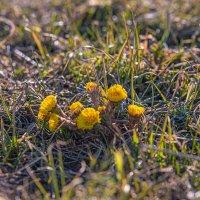 Первоцветы :: Лариса Корсакова