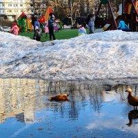 Утки Огари у детской площадки в Северном Чертаново :: ГЕНРИХ