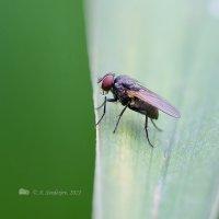Просто муха :: Александр Синдерёв