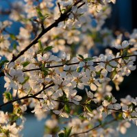 Войлочная вишня в цвету :: Александр Синдерёв